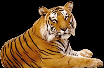 Corona Positive Tiger